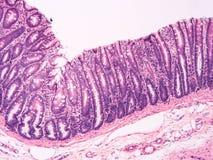 Histology of human tissue Stock Photos