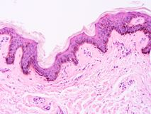 Histology of human tissue Royalty Free Stock Photo