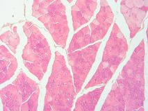 Histology of human muscle tendon connection tissue Royalty Free Stock Image