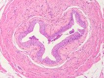 Histology of human tissue Royalty Free Stock Photos