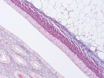 Histology of human tissue Royalty Free Stock Photo