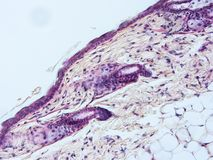 Histology of human tissue. Show epithelium cell, connective tissue and muscle tissue with microscope view Stock Image