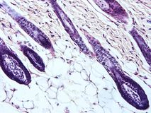 Histology of human tissue. Show epithelium cell, connective tissue and muscle tissue with microscope view Stock Photography