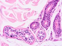 Histology of human tissue. Show epithelium cell, connective tissue and muscle tissue with microscope view Royalty Free Stock Image