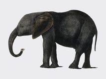 Historia ziemia 1848 Oliver złotnikiem Animowana natura i 1728-1774, portret ciemny popielaty słoń digitise royalty ilustracja
