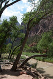 Historic arched trees persevere during floods in Mt Zion National Park, St. George, UT Stock Photography