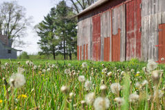 Historic old farm with dandelion seeds blowing in the wind and f stock photo