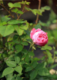 Historic pink rose Louise Odier, Royalty Free Stock Image