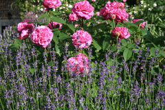 Historic pink rose Louise Odier and lavender Royalty Free Stock Photos