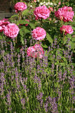 Historic pink rose Louise Odier and lavender Stock Photography