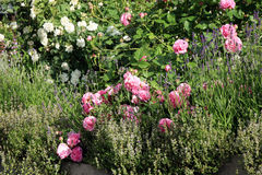 Historic pink rose Louise Odier and old, white rose Royalty Free Stock Photos