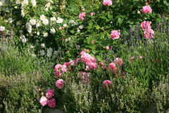 Historic pink rose Louise Odier and old, white rose Royalty Free Stock Image