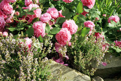 Historic pink rose Louise Odier and thyme Stock Photo