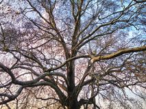 Historic Plane Tree Background royalty free stock photography