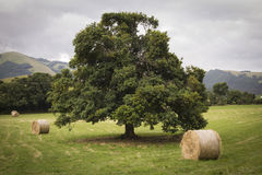 Historic tree with hay balls Stock Image