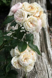 Historic white and pink  rose Bouquet Parfait Royalty Free Stock Images