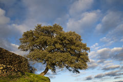 Historical oak tree in the Alentejo. The holm oaks (Quercus ilex) are trees that could reach a height of 10 meters and one of the natural symbols of the Alentejo Stock Photos