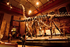Historical skeletons of Brachiosaurus and Diplodocus in Dinosaur Hall. BERLIN, GERMANY - AUG 30: Giant skeletons of Brachiosaurus and Diplodocus in Dinosaur Hall Stock Photo