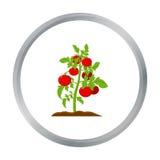 Historieta del icono del tomate Solo icono de la granja grande, jardín, historieta de la planta de la agricultura Imagen de archivo