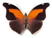 Historis Odius butterfly stock photo