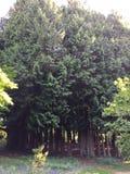 Historisk cirkel av träd Royaltyfri Fotografi