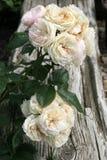 Historisk Parfait för vit- och rosa färgrosbukett Royaltyfria Bilder