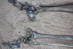 Skeleton (leg) of young warrior. History of middle ages. Skeleton (human skeleton, tibia and leg and foot) of young warrior from settlement of 10th-11th royalty free stock photos