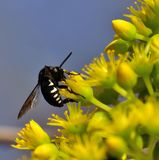 Histrionicus hermoso del thyreus de la abeja en las flores del aeonium Imagen de archivo