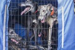 Hiszpańska charcica przy samochodu psa skrzynką przyglądającą out obrazy stock
