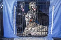 Hiszpańska charcica przy samochodu psa skrzynką przyglądającą out obrazy royalty free