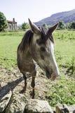 Hiszpański koń na gospodarstwie rolnym Zdjęcia Royalty Free