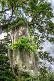 Hiszpański mech w drzewie Zdjęcia Royalty Free