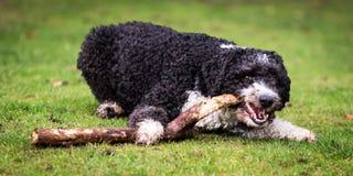 Hiszpański wodny pies obrazy royalty free