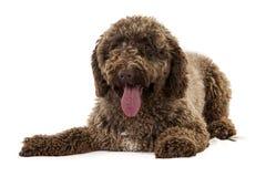 Hiszpański wodny pies fotografia stock