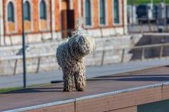 Hiszpański wodny pies Cantabrian - Barbet traken przedpole zdjęcia stock
