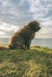 Hiszpański Wodny pies na plaży zdjęcie stock
