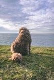 Hiszpański Wodny pies na plaży obrazy royalty free