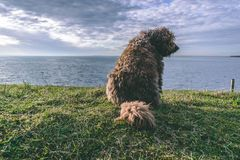 Hiszpański Wodny pies na plaży zdjęcia stock