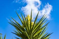 Hiszpańskiego bagneta łaciny imienia jukki drzewny aloifolia kwitnie Zdjęcia Royalty Free