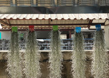 Hiszpańskiego mech obwieszenia pasemko dekorujący do domu Obrazy Royalty Free