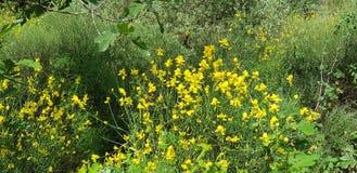 Hiszpańskiej miotły kwiat fotografia royalty free
