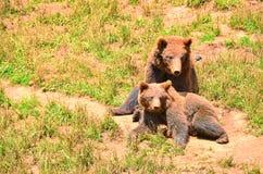 Hiszpańszczyzna niedźwiedzie, matka i lisiątko siedzi wpólnie, zdjęcia stock
