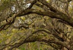Hiszpański mech i Live Oak tunel obraz royalty free