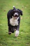 Hiszpański wodny pies Zdjęcie Royalty Free