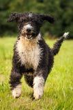 Hiszpański wodny pies Zdjęcia Stock