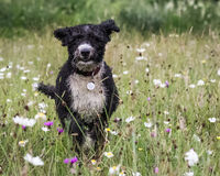 Hiszpański wodny pies Zdjęcie Stock