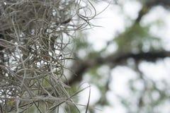 Hiszpańskiego mech Tillandsia usneoides wiesza od drzewa Fotografia Stock
