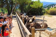 Hiszpania, Penaguila, Aitana safari park - Czerwiec 21, 2019: Turyści biorą obrazki strusie w safari parku Aitana obraz royalty free