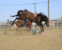 Hit the dirt. Cowboy getting bucked off a saddle bronc Royalty Free Stock Image