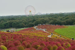 Hitachi Seaside Park, Japan Royalty Free Stock Photography